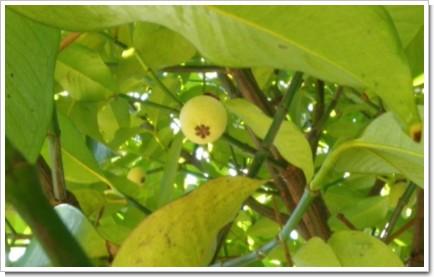 MangoStine.JPG