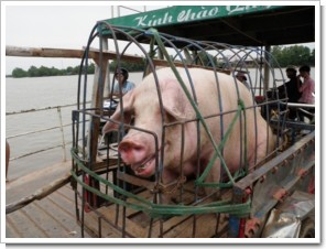 10km_south_Saigon_Pig.JPG