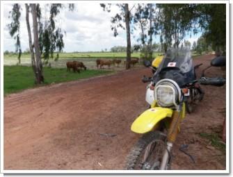 Cambodia_June30Cowa.JPG