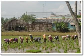 RiceFieldinGoCong.JPG