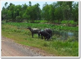 Africa_COW.jpg
